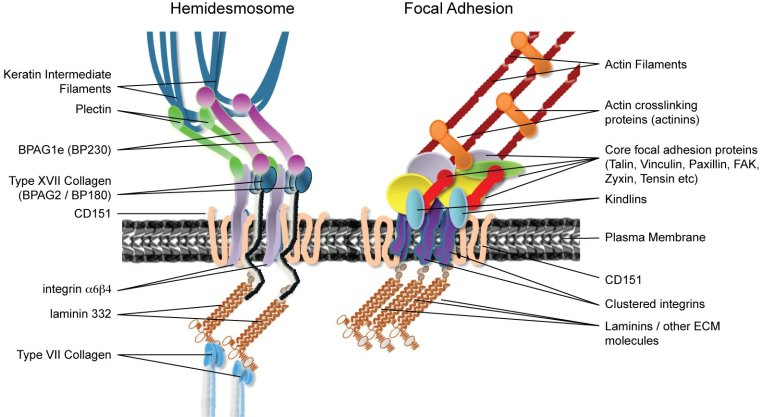 diagram of hemidesmosomes and focal adhesions