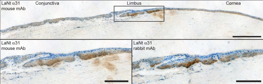 human anterior segment - LaNt HRP
