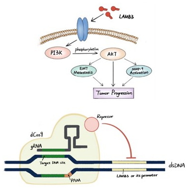 Diagrams of PI3K signalling and Cas9 mediated gene repression