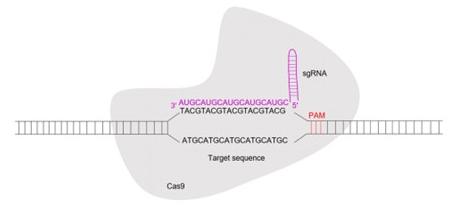 Diagram of core CRISPR/Cas0 design
